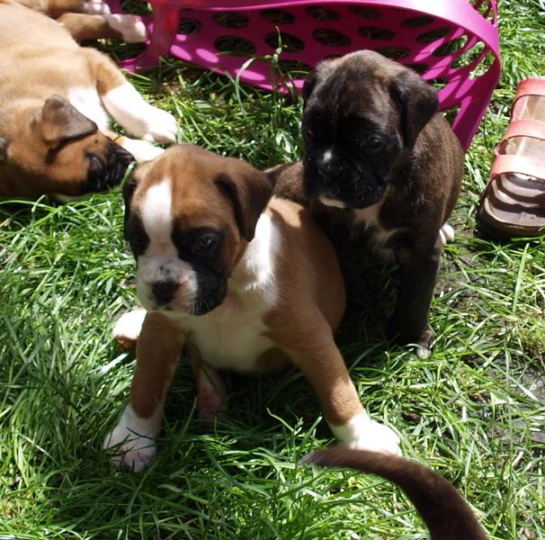 Andrea Und Kai Mockel Welpen Boxer Wurf Baijani Lennox Von Der Isenburg Hundesport